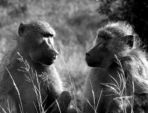 2 baboons looking at each other as if communicating
